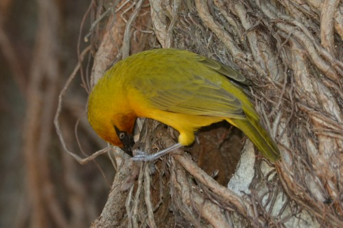 Male Spectacled Weaver