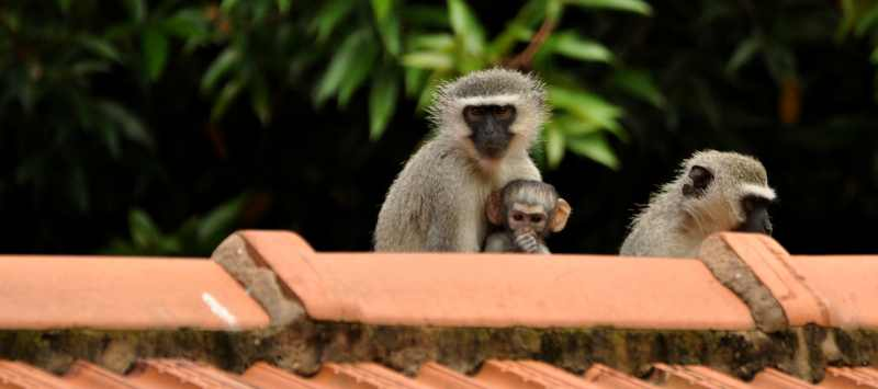 Tiny baby Vervet Monkey with its mother