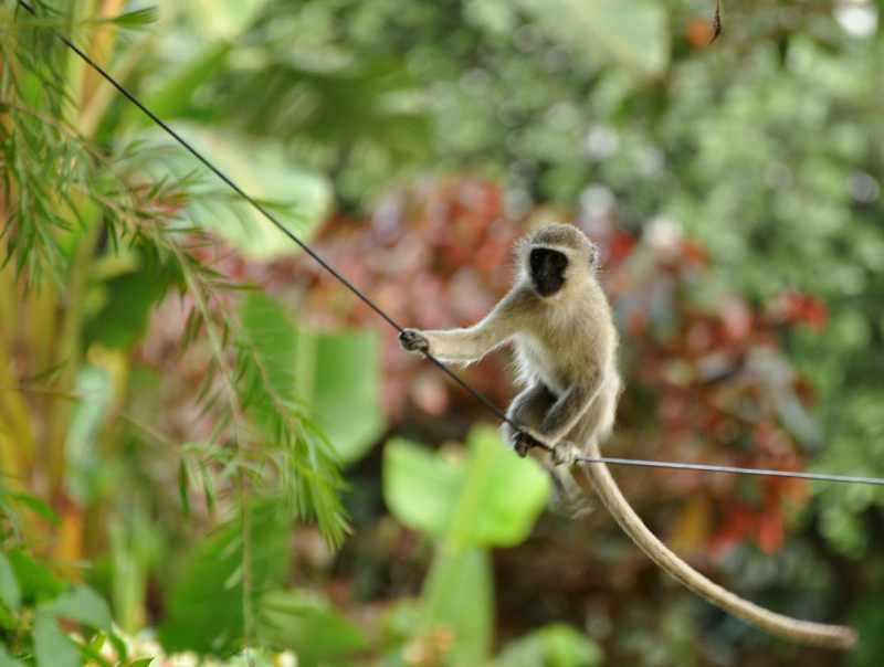 Balancing act! Vervet Monkeys have little trouble negotiating thin telephone wires.