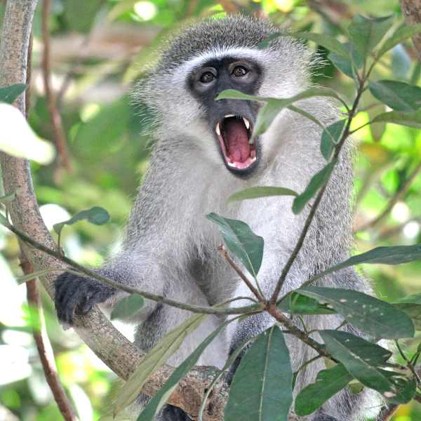 As this Vervet Monkey yawned it showed its long canines.