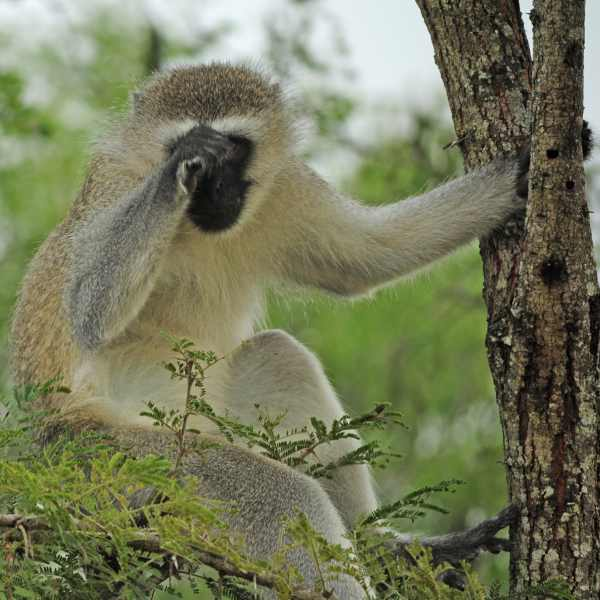Is this Vervet Monkey shy or just rubbing his eyes?