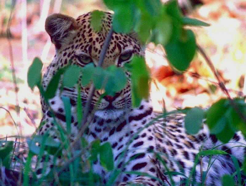 Seeing a leopard is the ultimate sighting in a game reserve