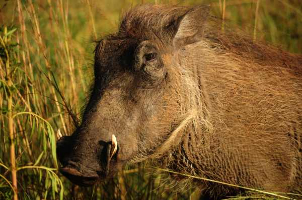 Another portrait of a Warthog