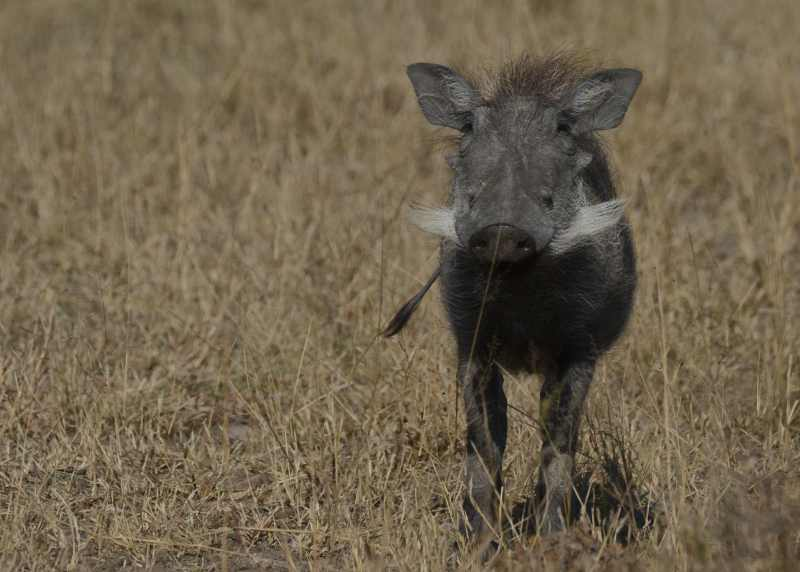 A Warthog watches indignantly in Kruger National Park