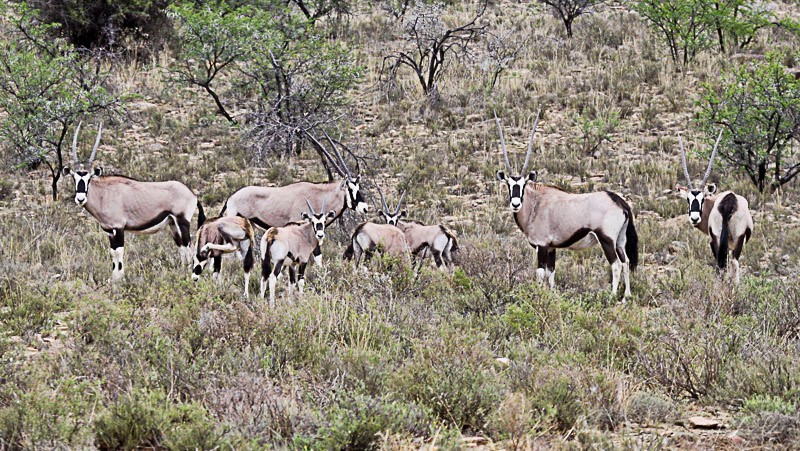 Gemsbok in the Kgaligadi Game Reserve