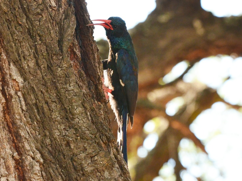 A Green Wood-Hoopoe in Kruger National Park