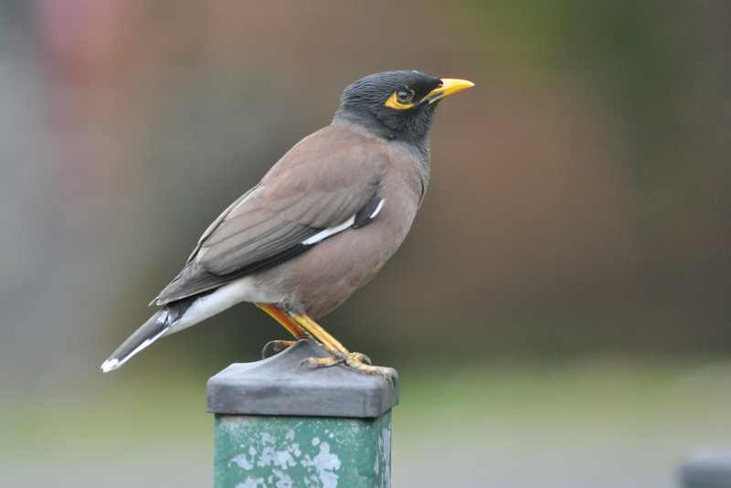Common Mynas like to share our gardens with us