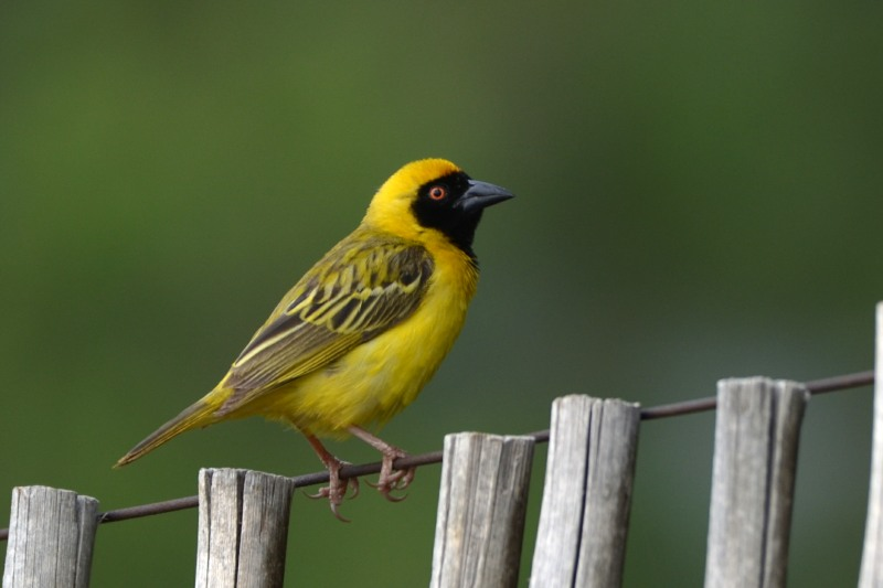Southern Masked-Weaver male