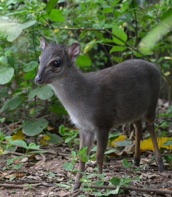 Blue Duikers are really tiny antelope
