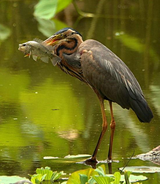 Purple Heron with a fish that it has just caught