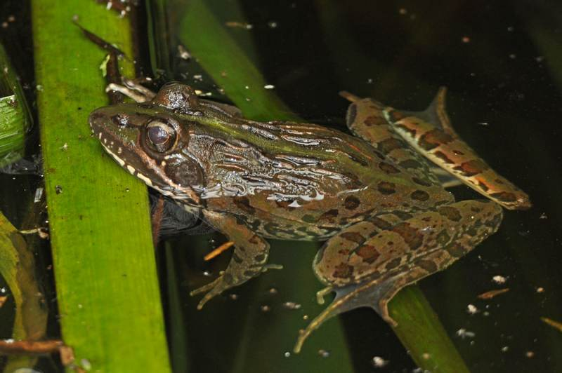 Common River Frog