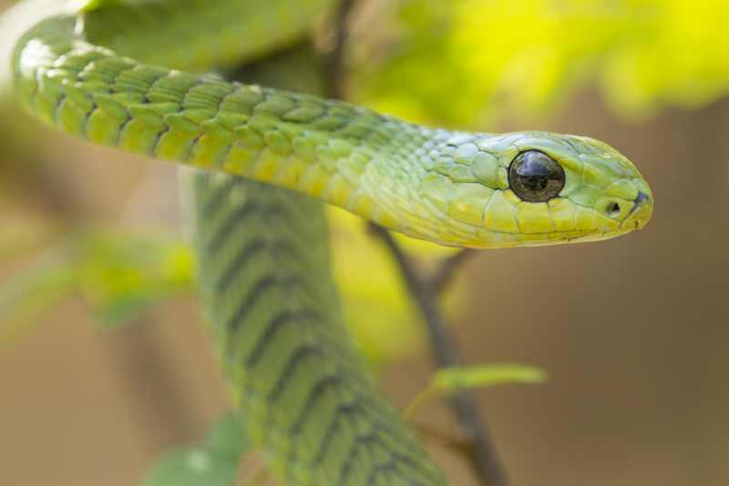 Male Boomslang snake