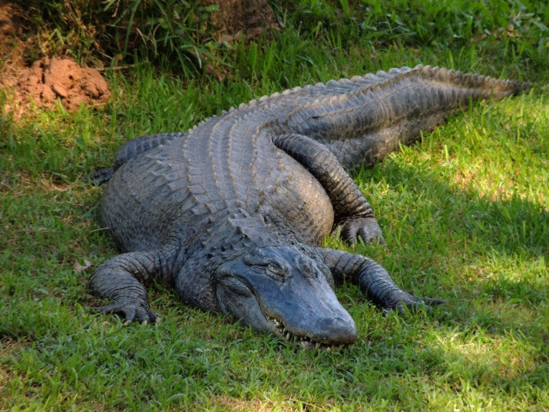 A large Croc lazing on the grass