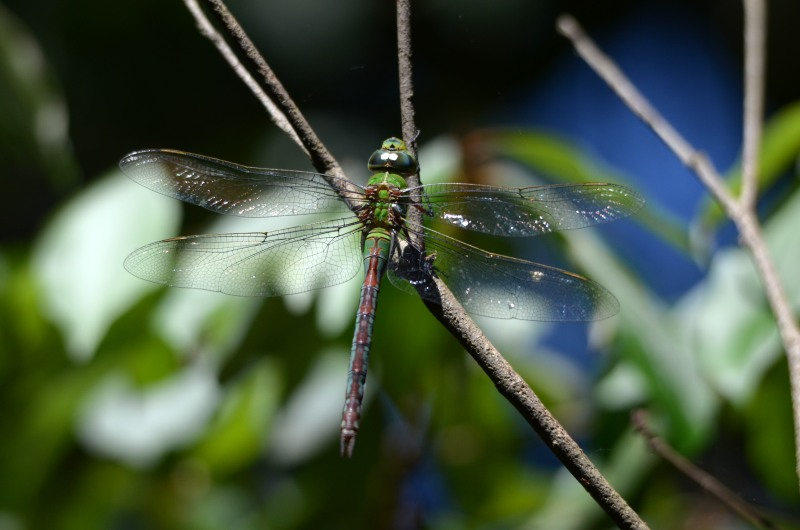 Female Blue Emperor dragonfly - Anax imperator