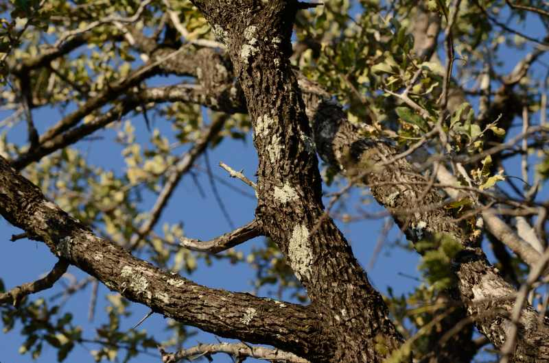 Leadwood Tree Trees And Other Plants Of South Africa