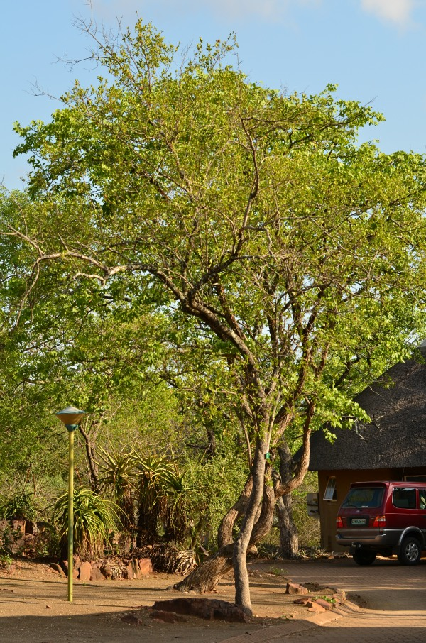 Red Bushwillow tree in Kruger Park