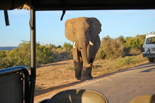 An Elephant approaching a game drive vehicle