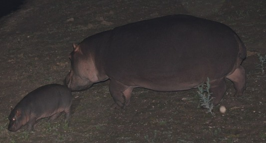 Hippo with calf