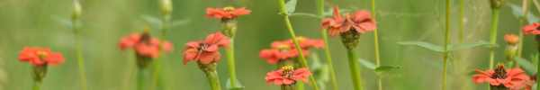 Red-star Zinnia